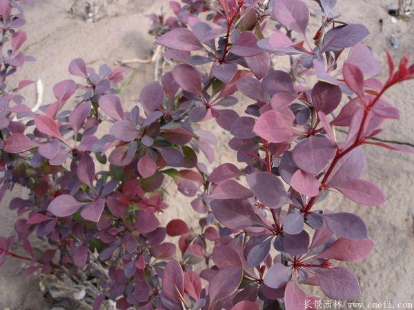 红叶小檗图片基地实拍